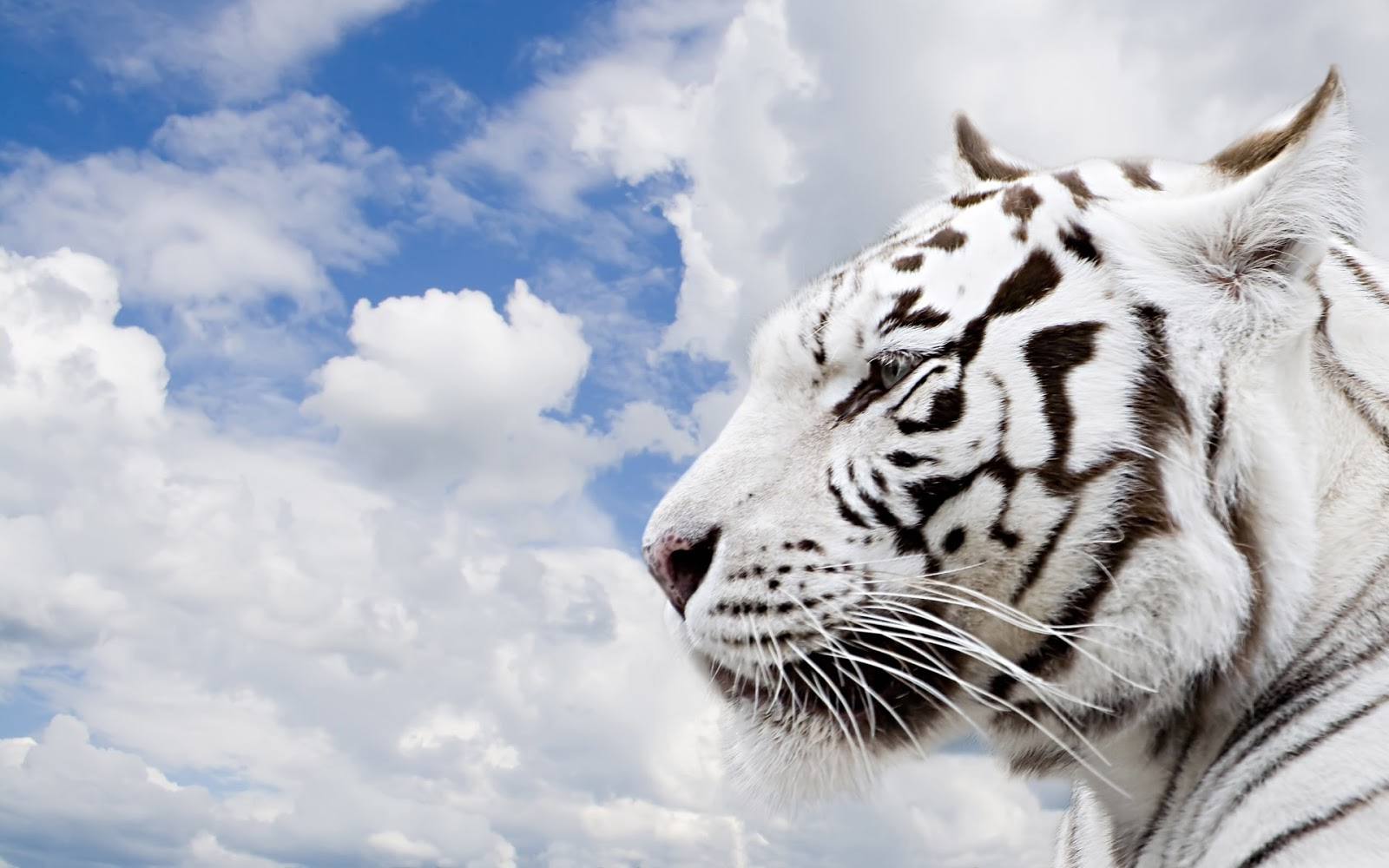 White Bengal Tigers Latest Hd Wallpaper 2013 Top hd 1600x1000