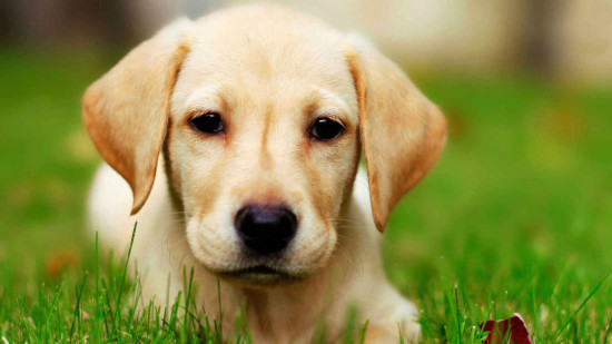Labrador Puppy Wallpaper HD Download Lab puppy HD wallpaper for 550x309