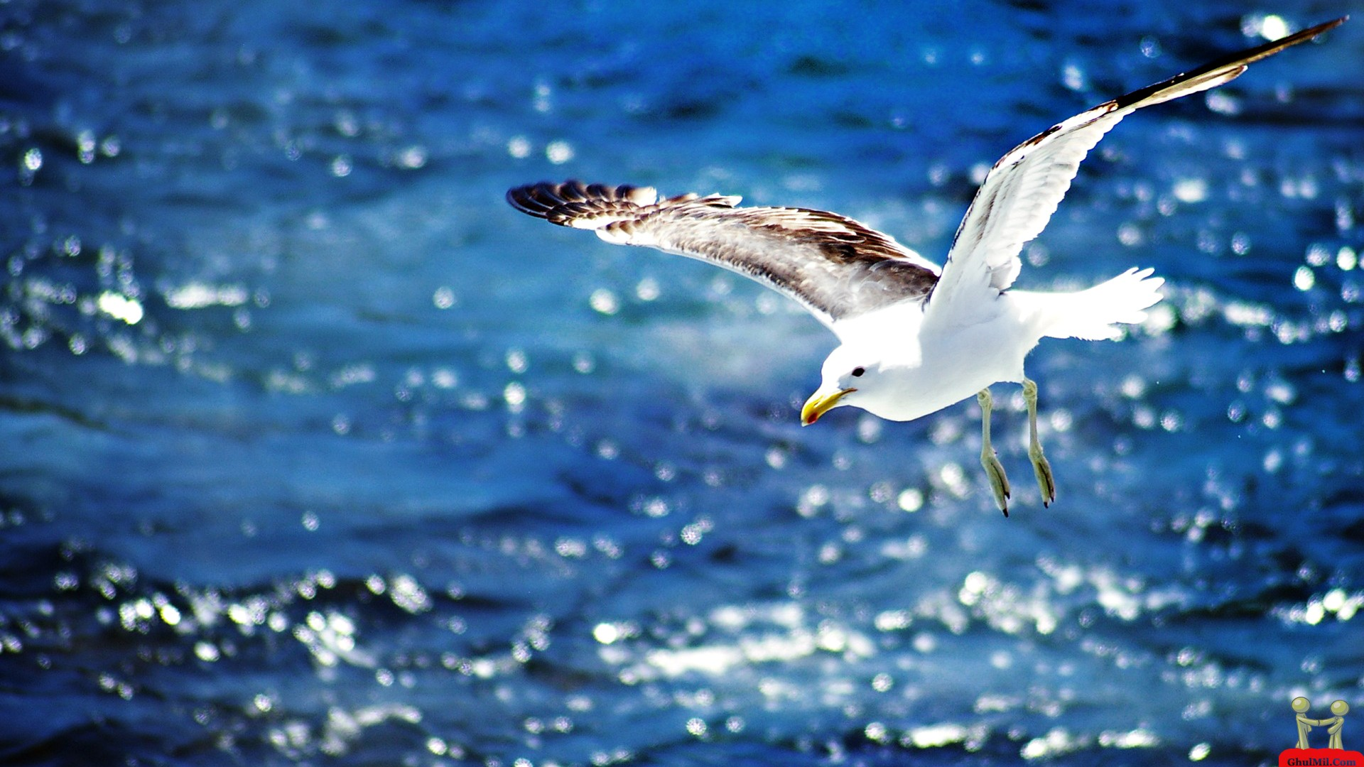 Beautiful Flying Seagull HD Wallpaper E Entertainment 1920x1080