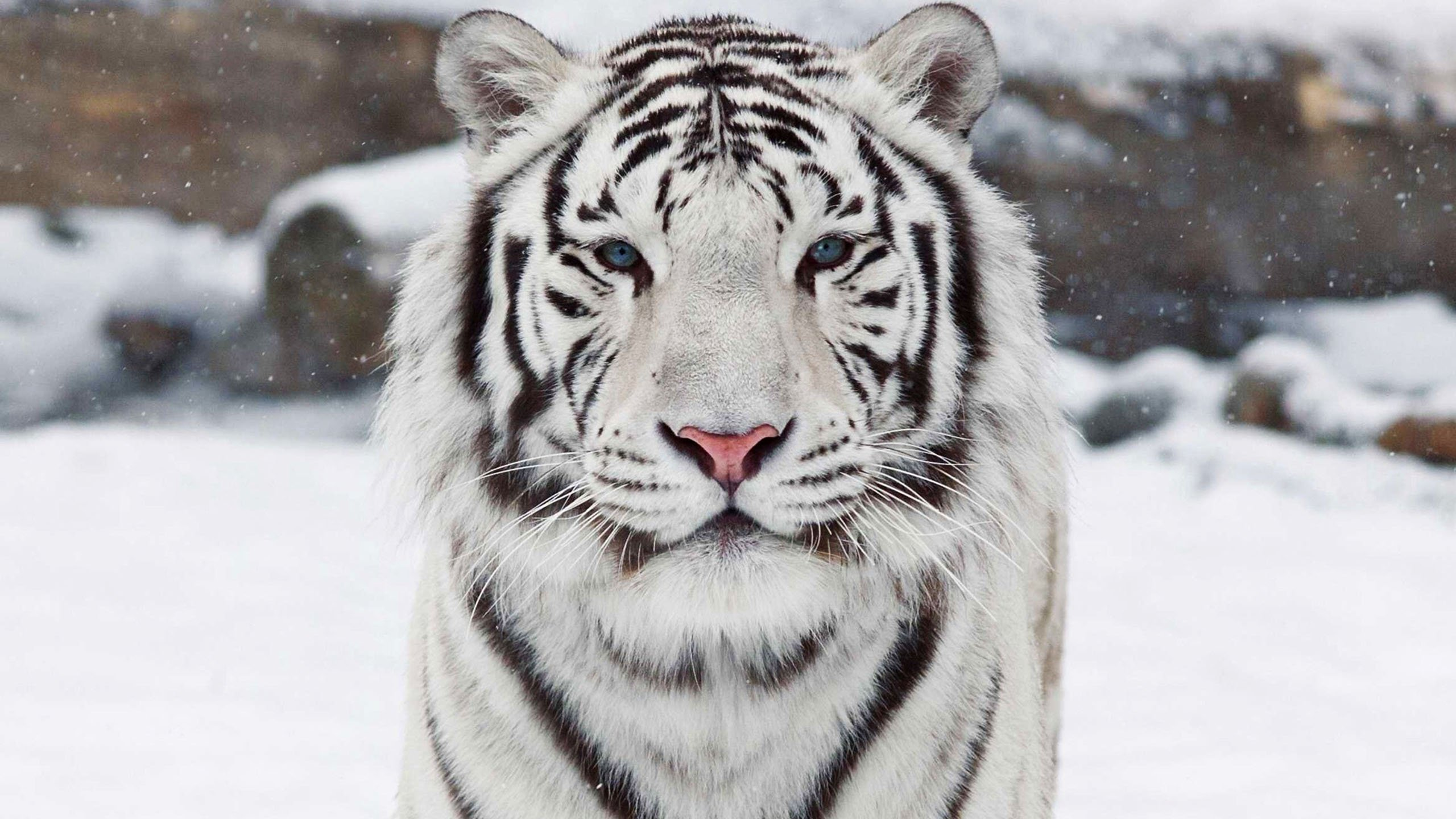 the white tiger Save the white tigers white bengals result from genetic mutations that are part of their natural species diversity, and we have a responsibility to save them.