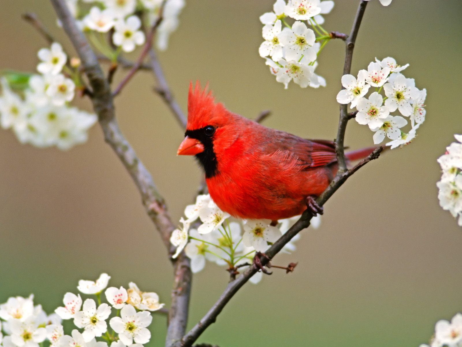 Wallpaper bird branch cardinal Common Cardinal Redbird 1600x1200