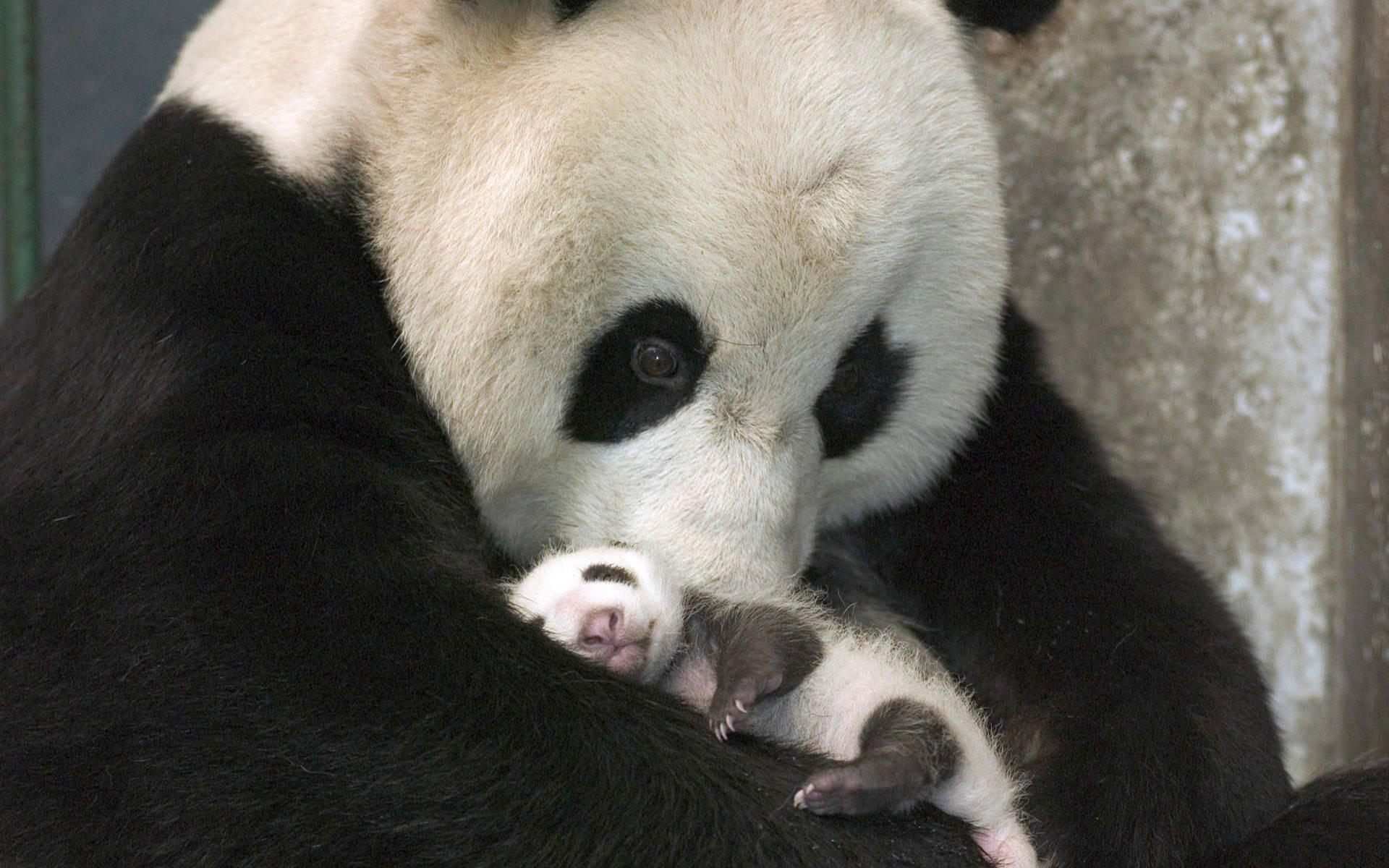 Panda Baby 1920x1200