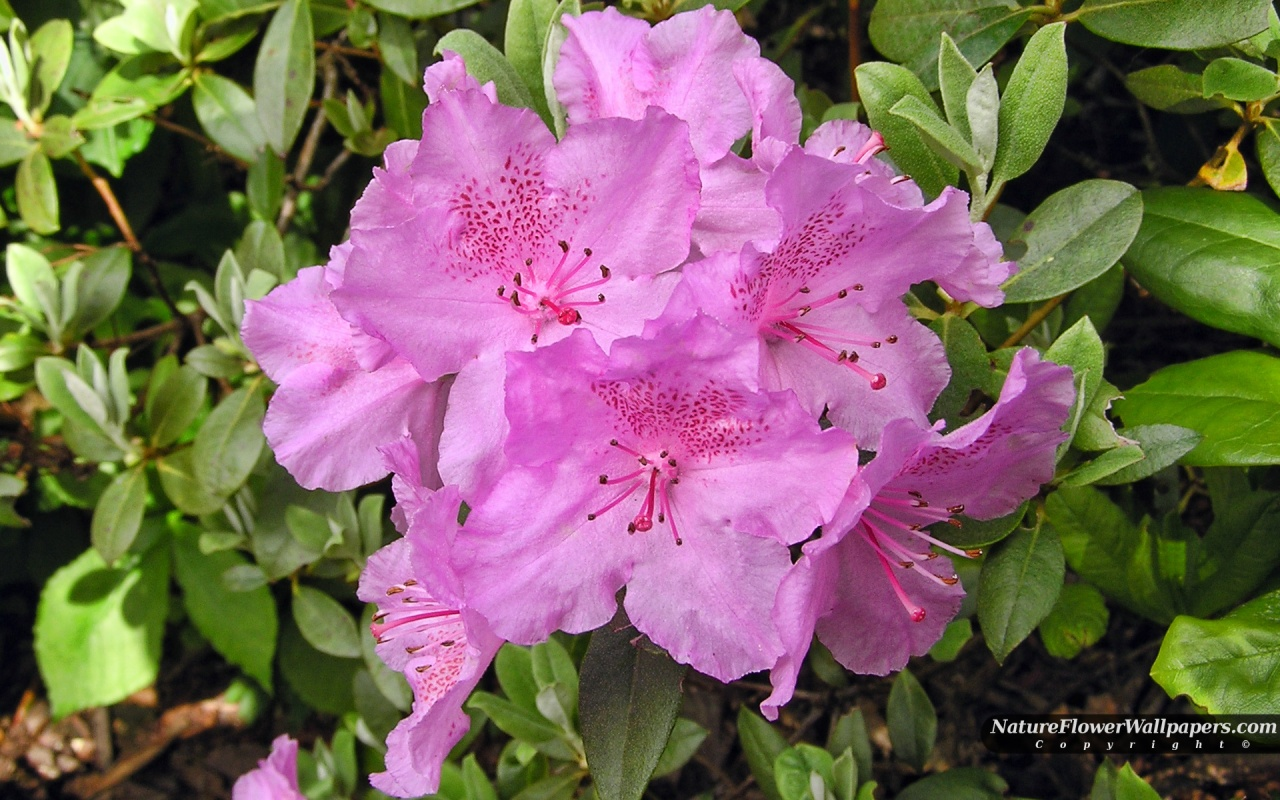Rhododendron big pink flowers wallpaper 1280x800 resolution 1280x800