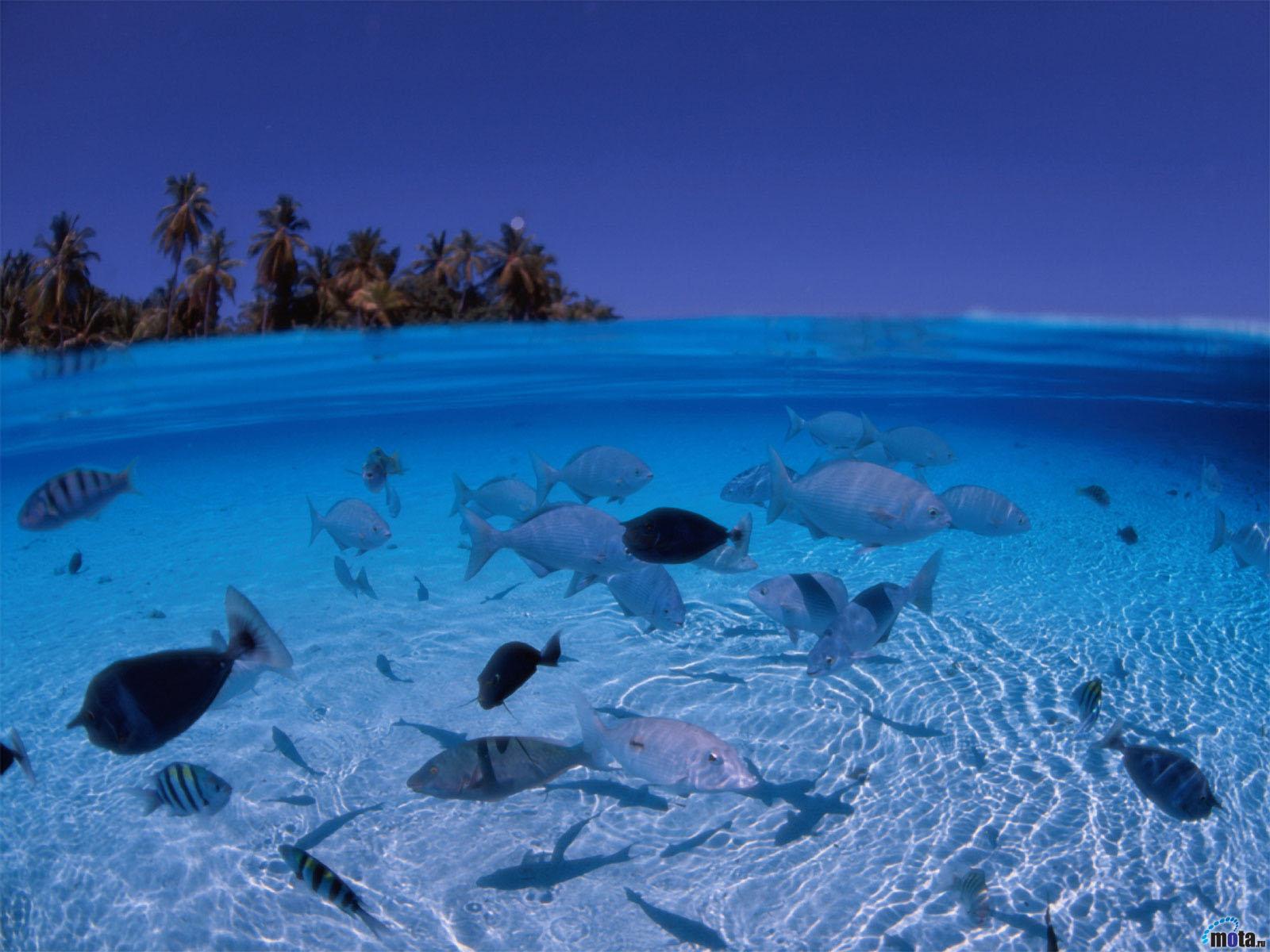 Wallpaper tropics blue ocean fish palm Marine fish in shallow 1600x1200