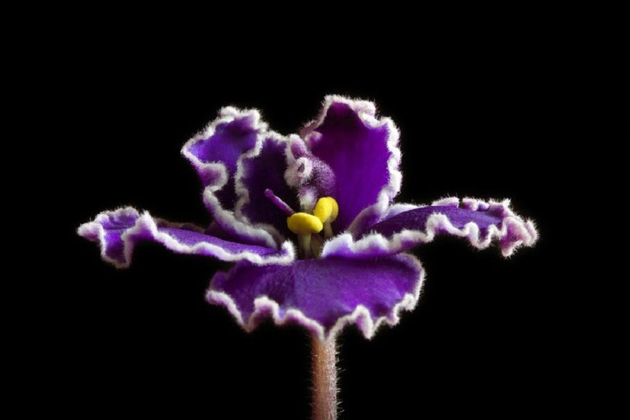 37 African Violet Wallpaper On Wallpapersafari
