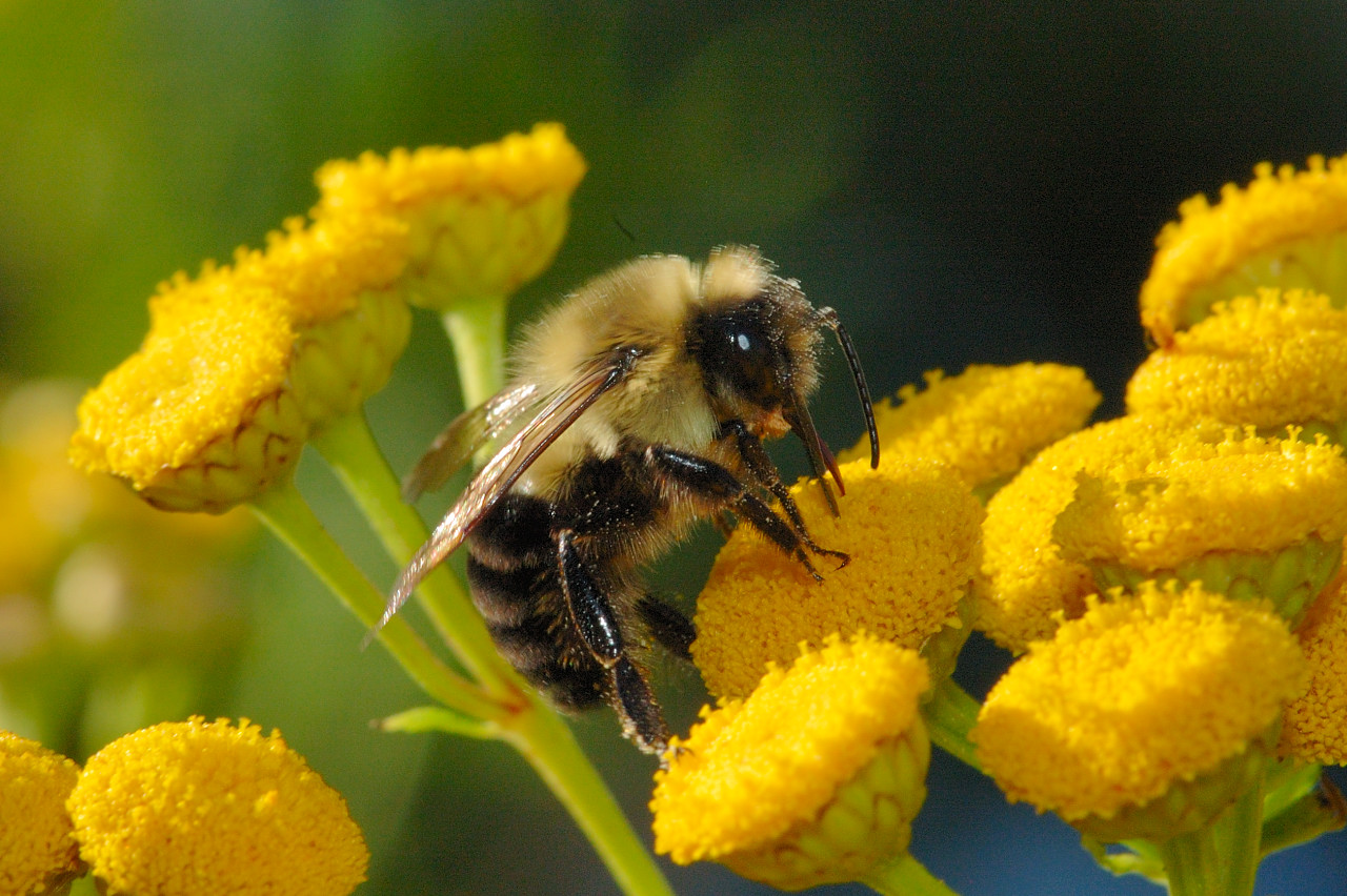 Bumble Bee Carpenter Bee Pictures 1280x852