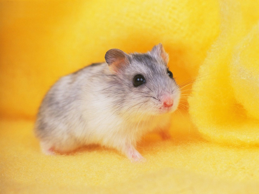 Hamster Wallpaper High Definition Wallpaper with 1024x768 Resolution 1024x768