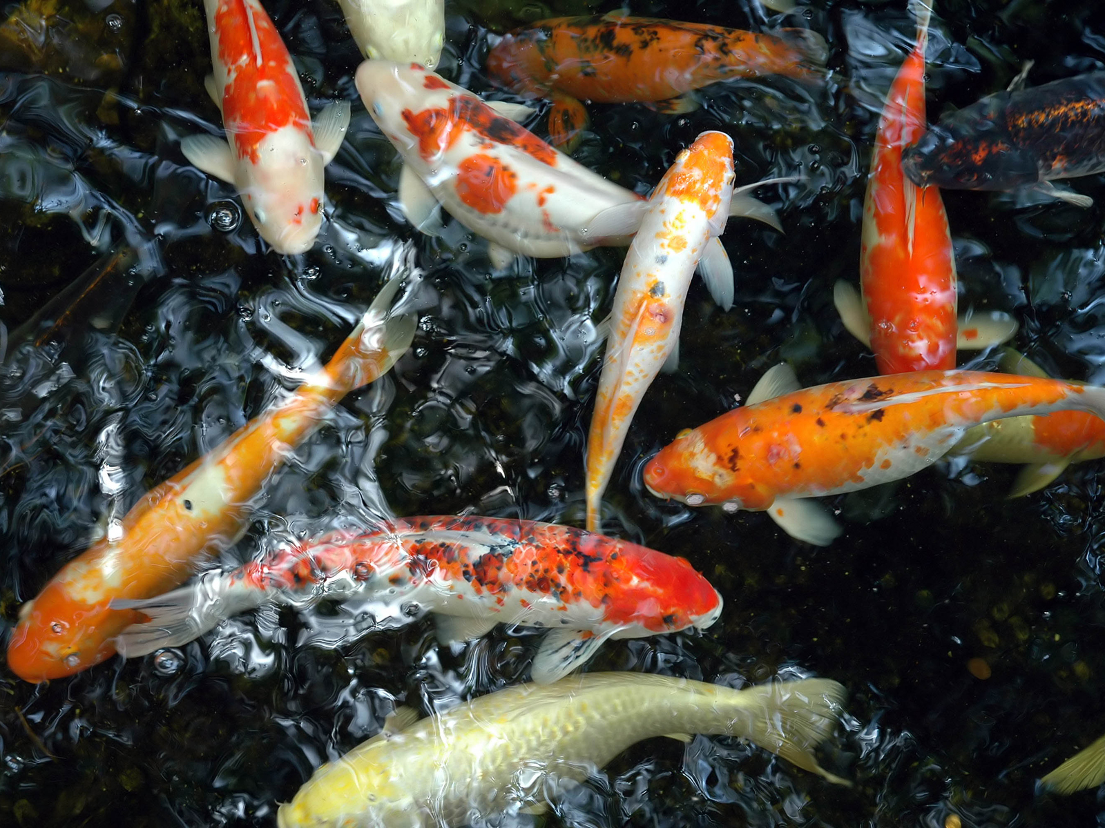 Moving koi fish wallpaper wallpapersafari for Koi carp fish information