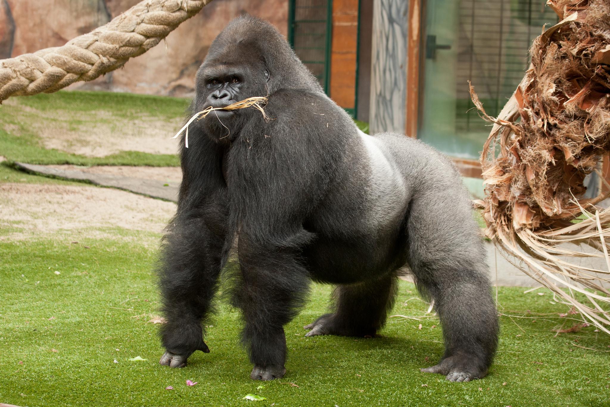 Animal   Gorilla Wallpaper 2048x1365