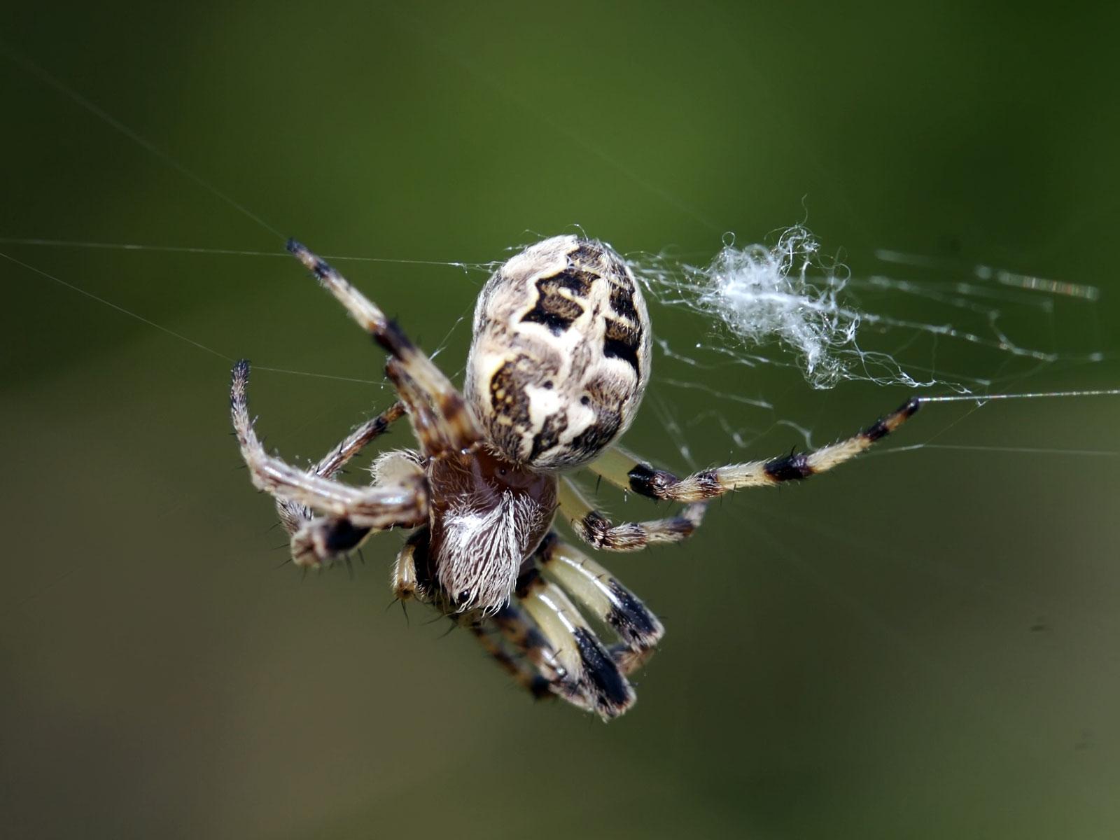 WALLPAPER image PICTURE photo SKETCH illustration Spider Wallpaper 1600x1200