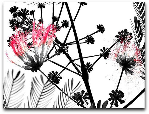 Pink Black White Flickr   Photo Sharing 500x383