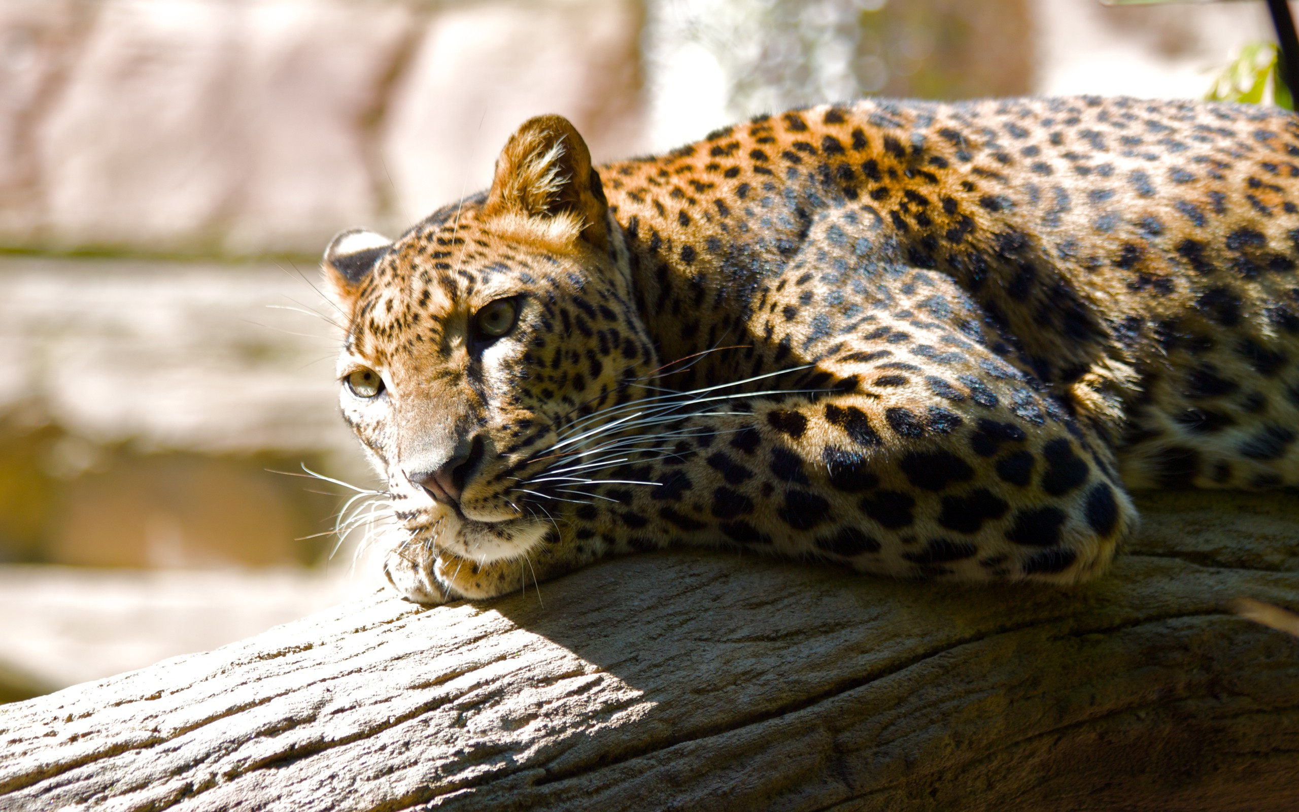 Leopard HQ Wallpapers HD Wallpapers 2560x1600