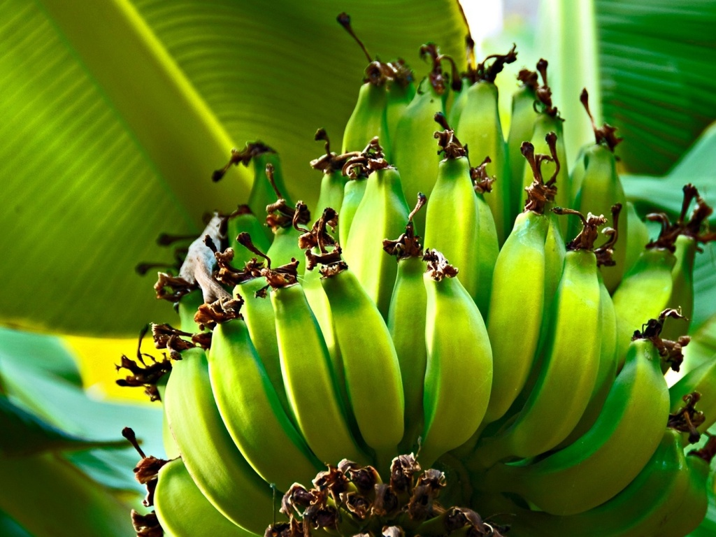 Banana Tree Desktop Wallpaper 4 1024x768