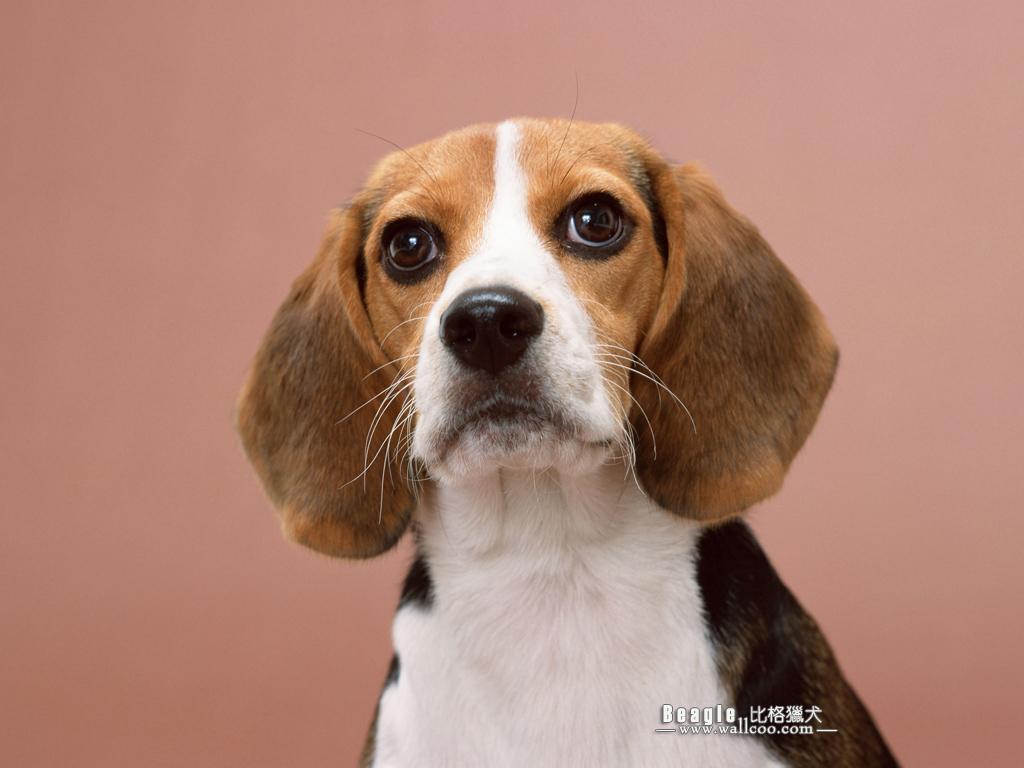 Beagle Dog photos   Beagle Wallpapers 1024x768 NO3 Desktop Wallpaper 1024x768