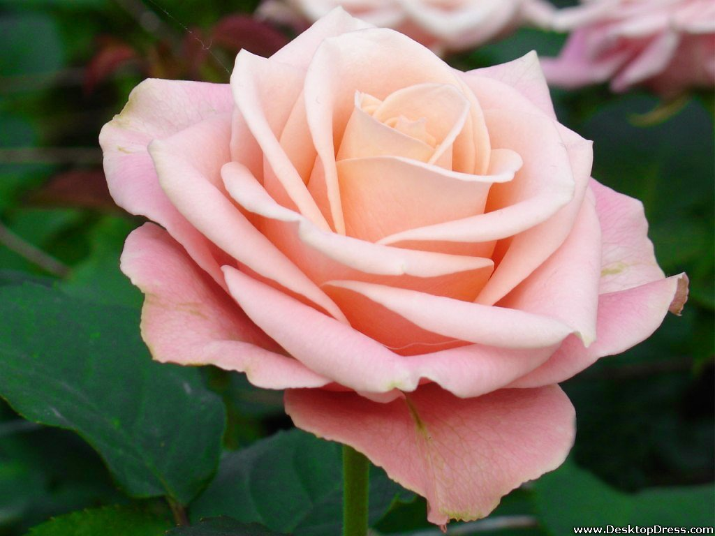light pink flower wallpaper - photo #33