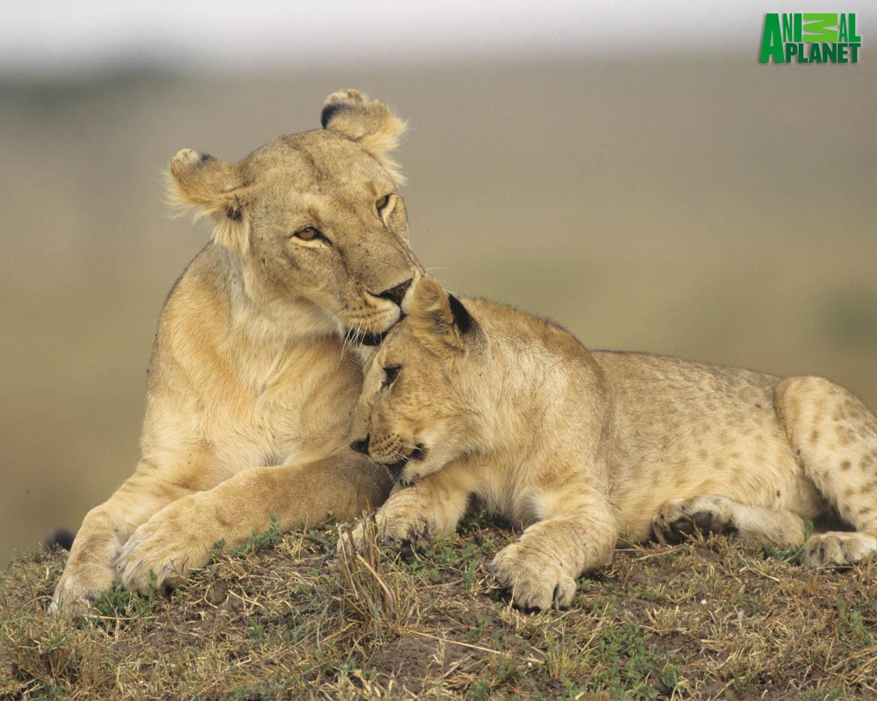Animal Planet Wallpaper Download   lio 1280x1024