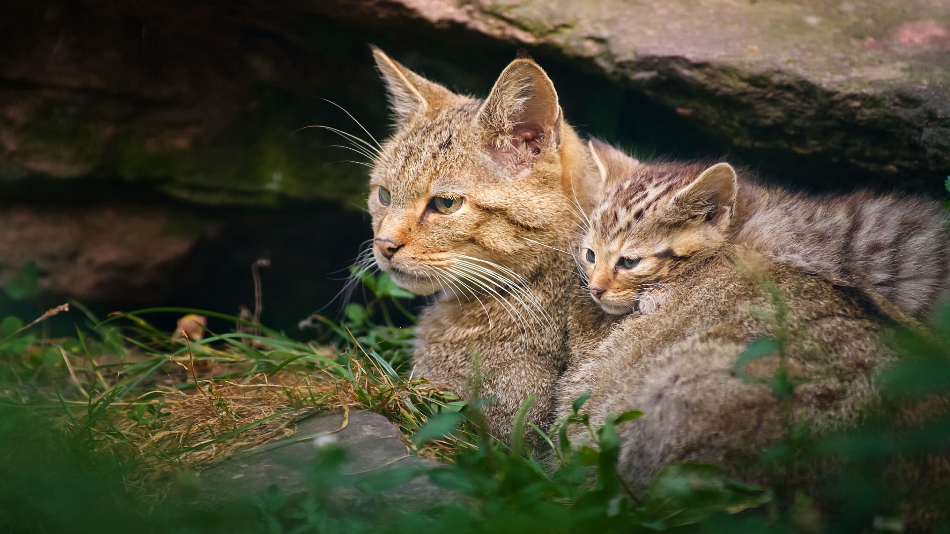 Wild Cats Wallpaper - WallpaperSafari
