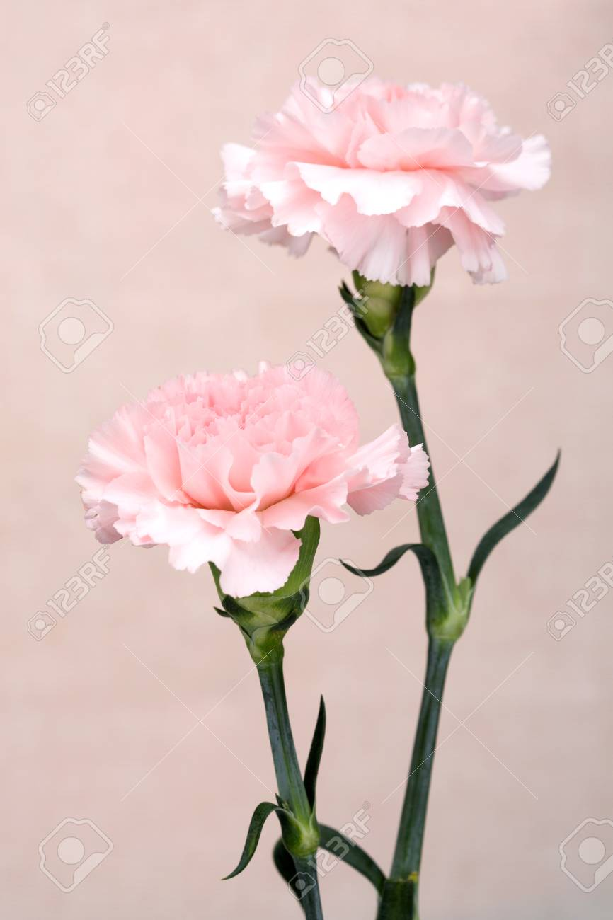 Flower Pattern Shot In Studiobackgroundwallpaper   Pink 866x1300