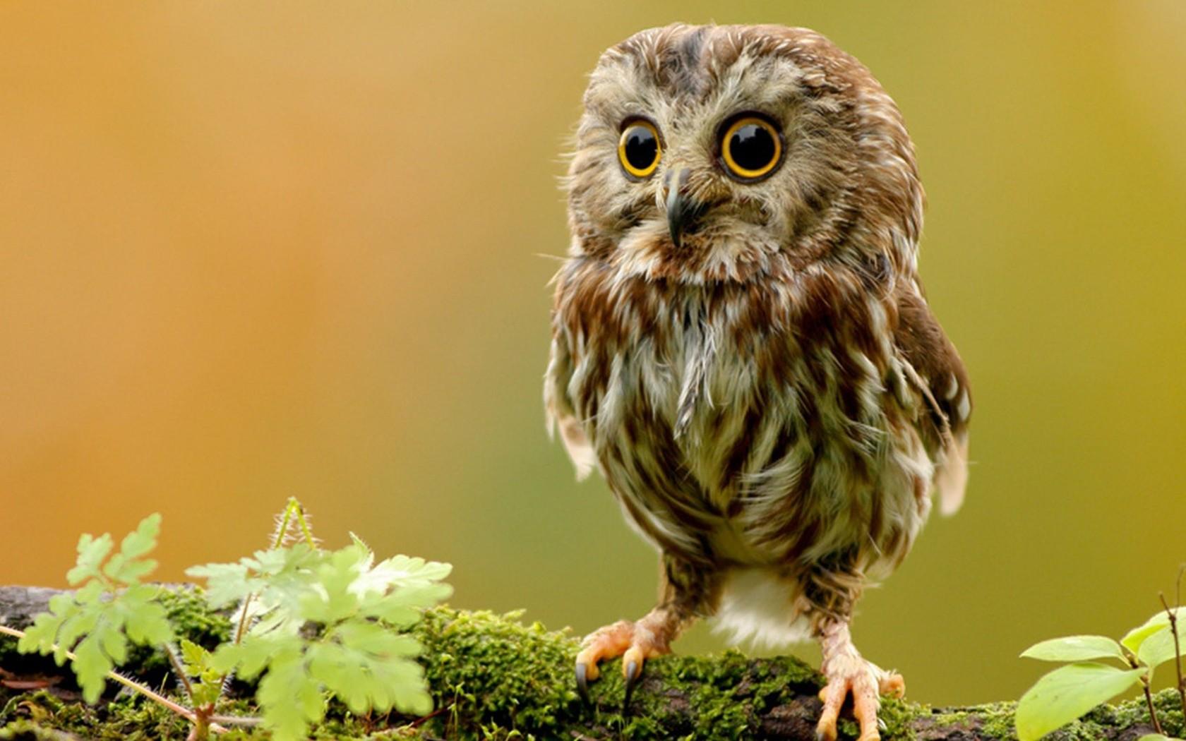 Baby Owl wallpaper 9931 1680x1050