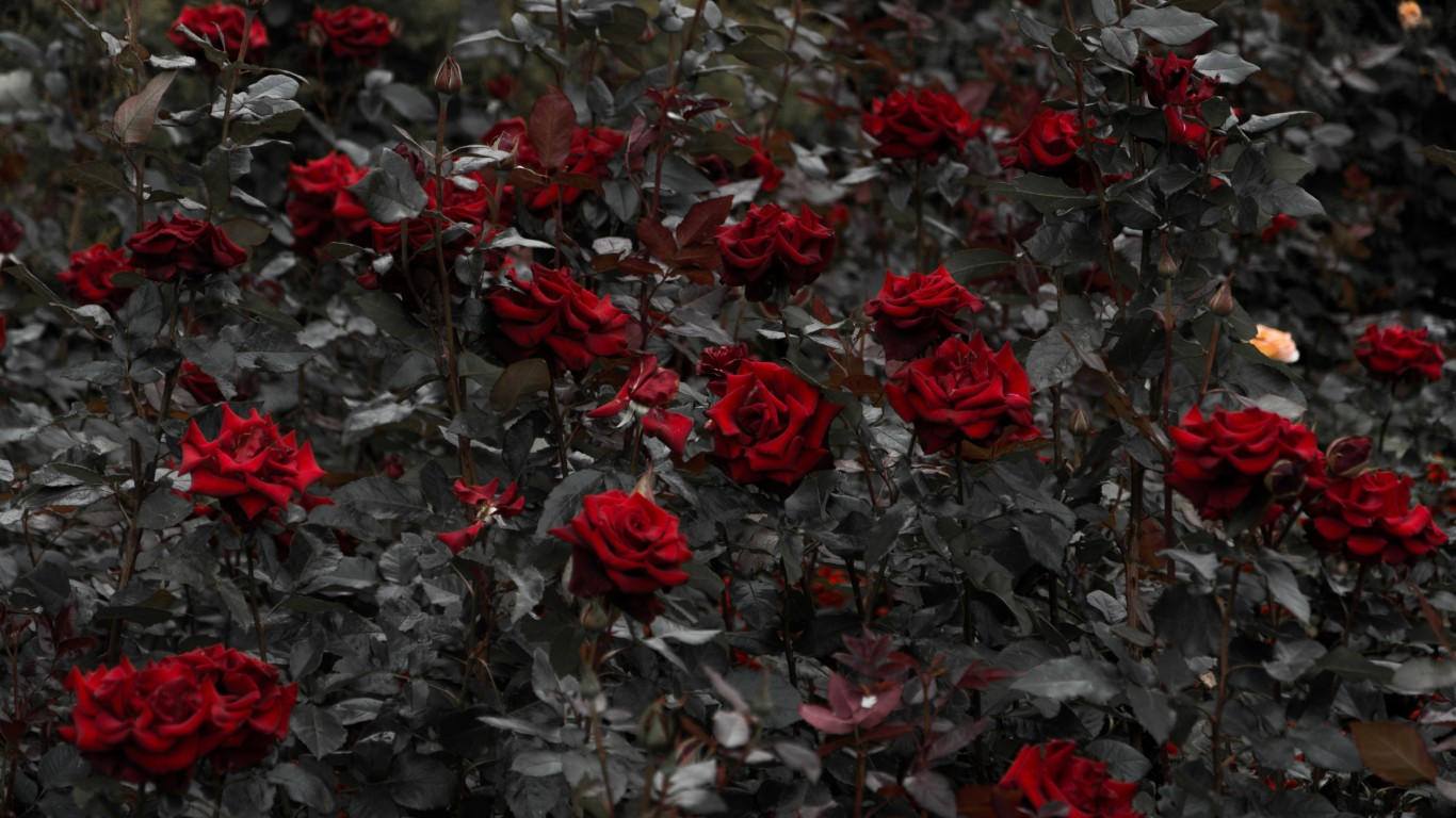 Download 1366x768 Red Roses Garden Leaves Wallpapers for Laptop 1366x768
