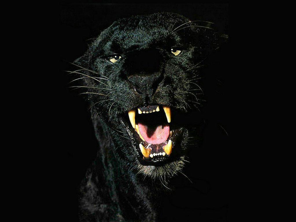 black jaguars animal wallpaper 1024x768