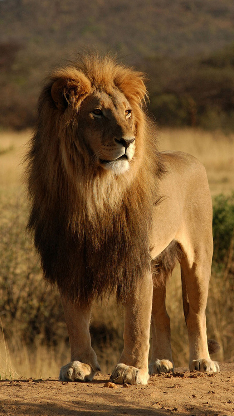 African lion iphone 6 Wallpaper HD Wallpapers For iPhone 6 750x1334