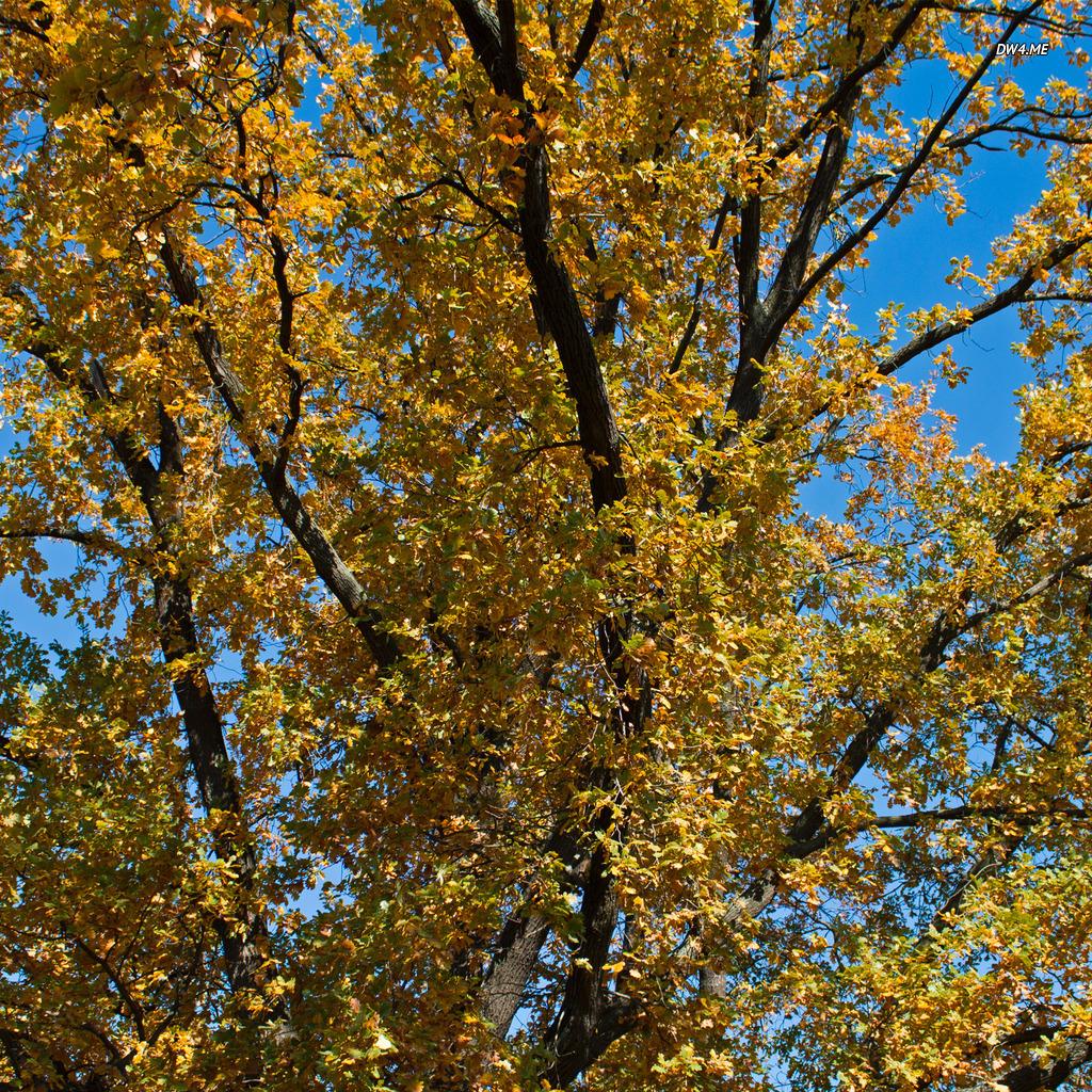 Yellow oak tree wallpaper   Nature wallpapers   944 1024x1024