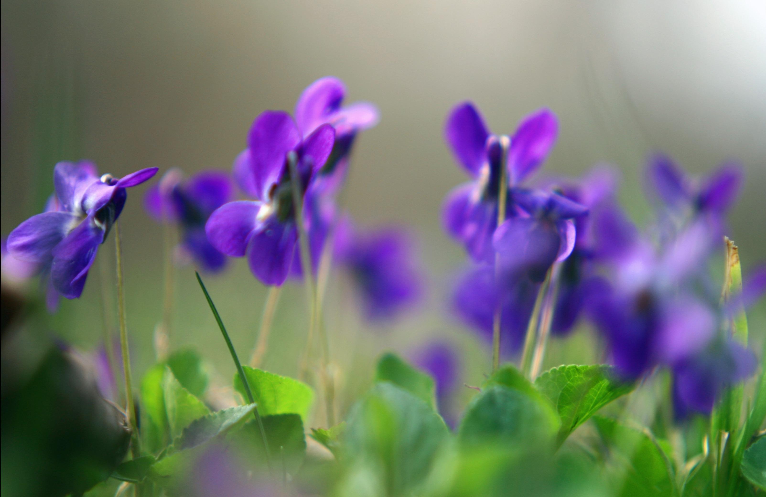 Обои цветы для рабочего стола фиолетовые