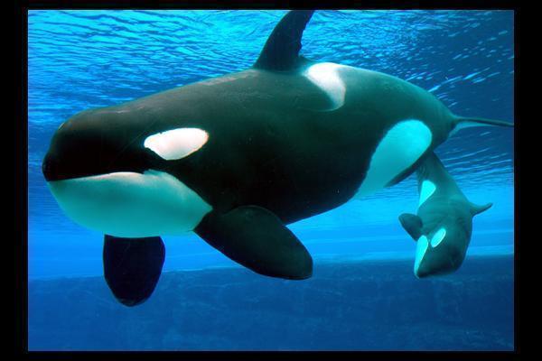 Killer Whale Wallpaper 600x400