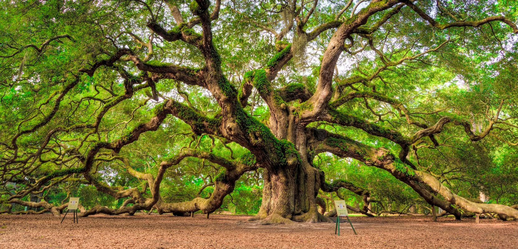 Angel Oak Tree Wallpapers and Background Images   stmednet 1661x800