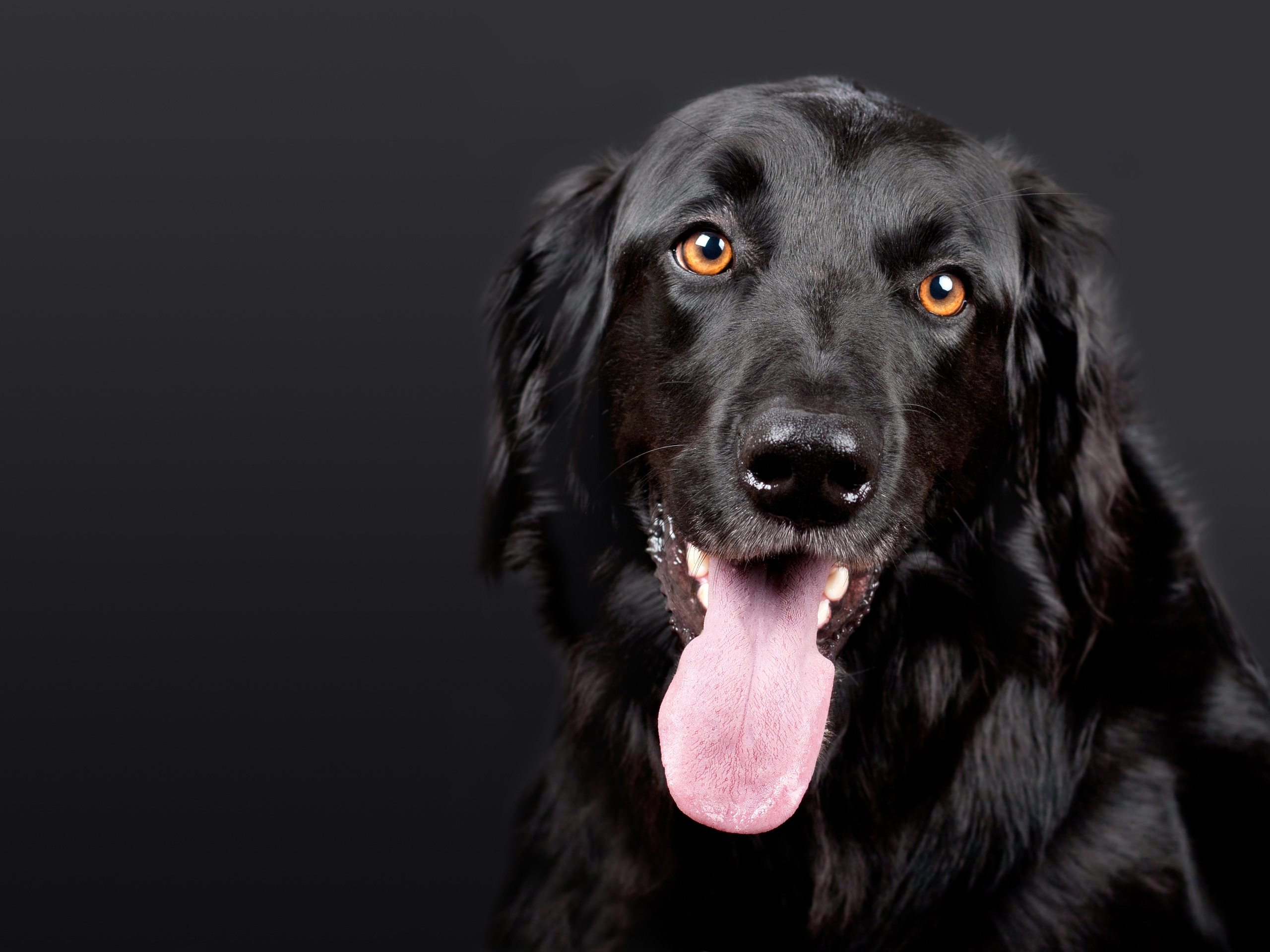 Black Dog Wallpapers HD Download 2560x1920