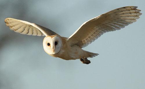 White Barn Owl flying Wallpaper 500 X 308 279199 HD Wallpaper 500x308