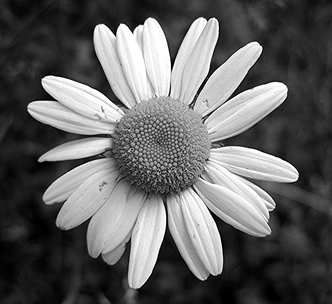 Black And White Flowers Wallpapers Hd: Black And White Daisy Wallpaper