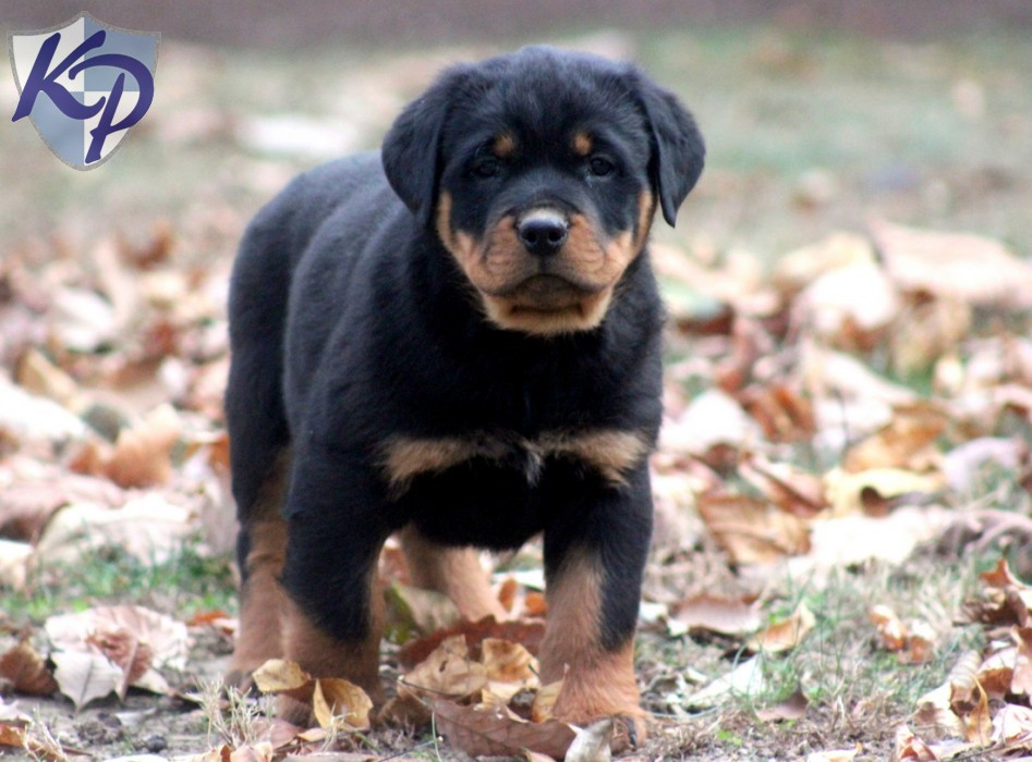 Rottweiler Puppies For Sale 4 Desktop Background   DogBreedsWallpapers 947x700