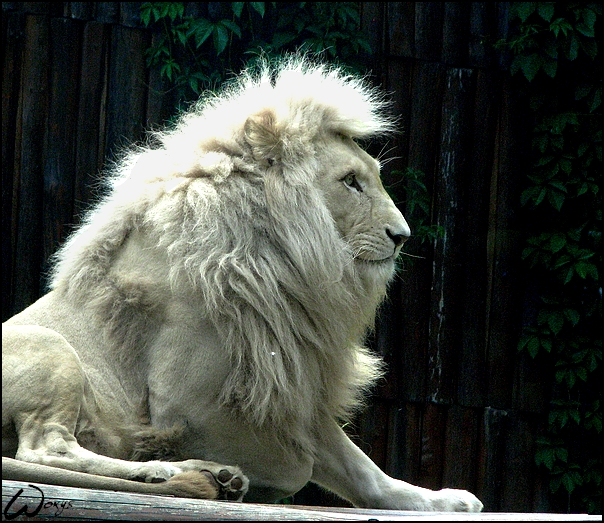 white lion wallpaper 604x523