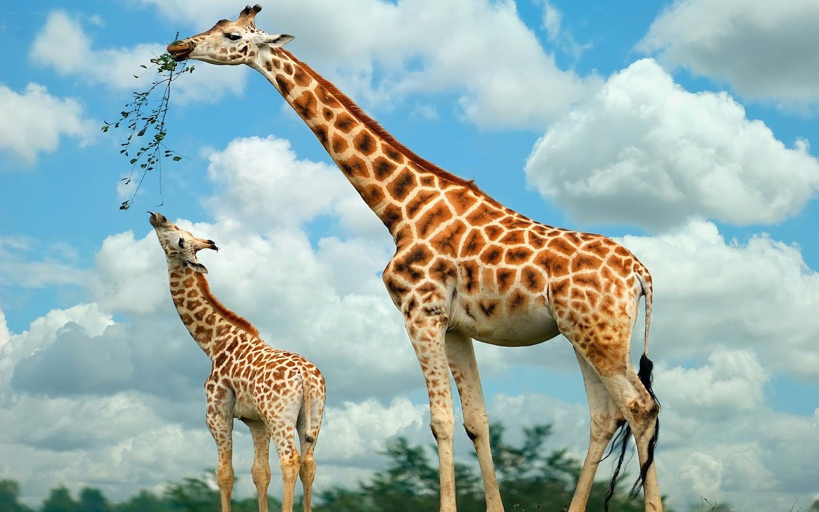 55 African Giraffe Animal Photos HD Wallpapers Download 1600x1000