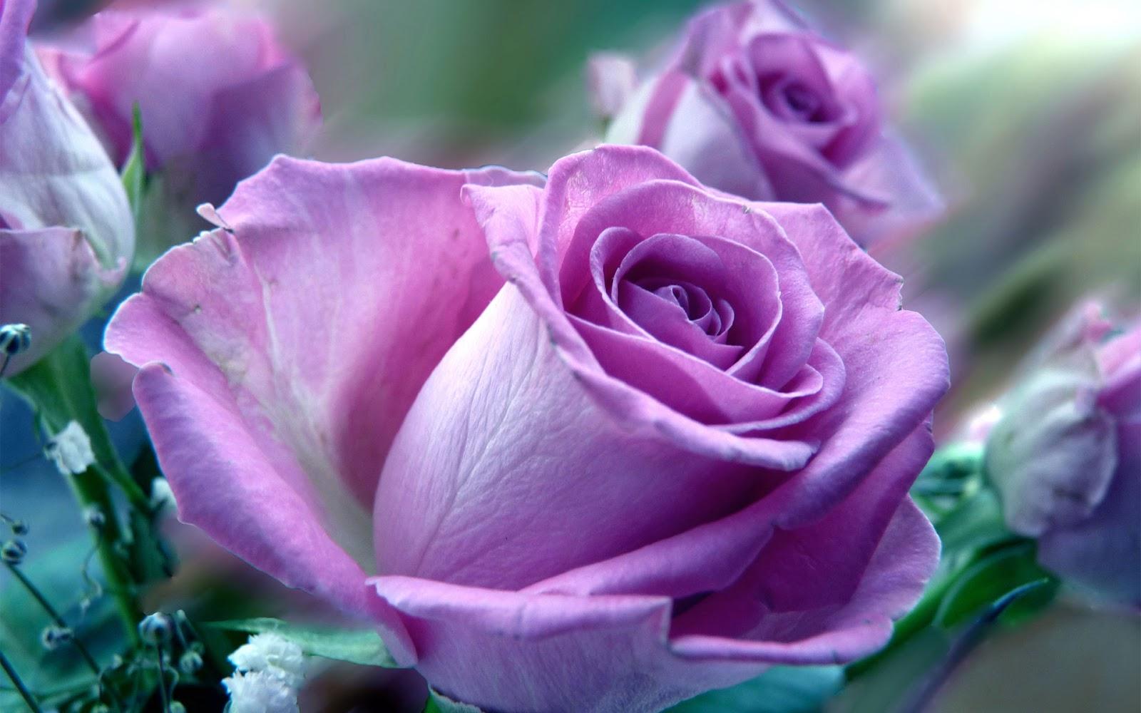 Beautiful Rose Hd Wallpapers Wallpapersafari