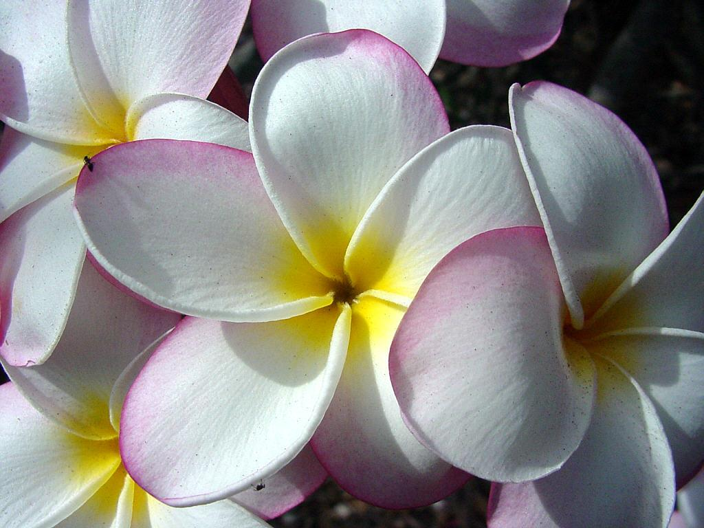 Beautiful Hawaiian Flowers Wallpaper WallpaperSafari