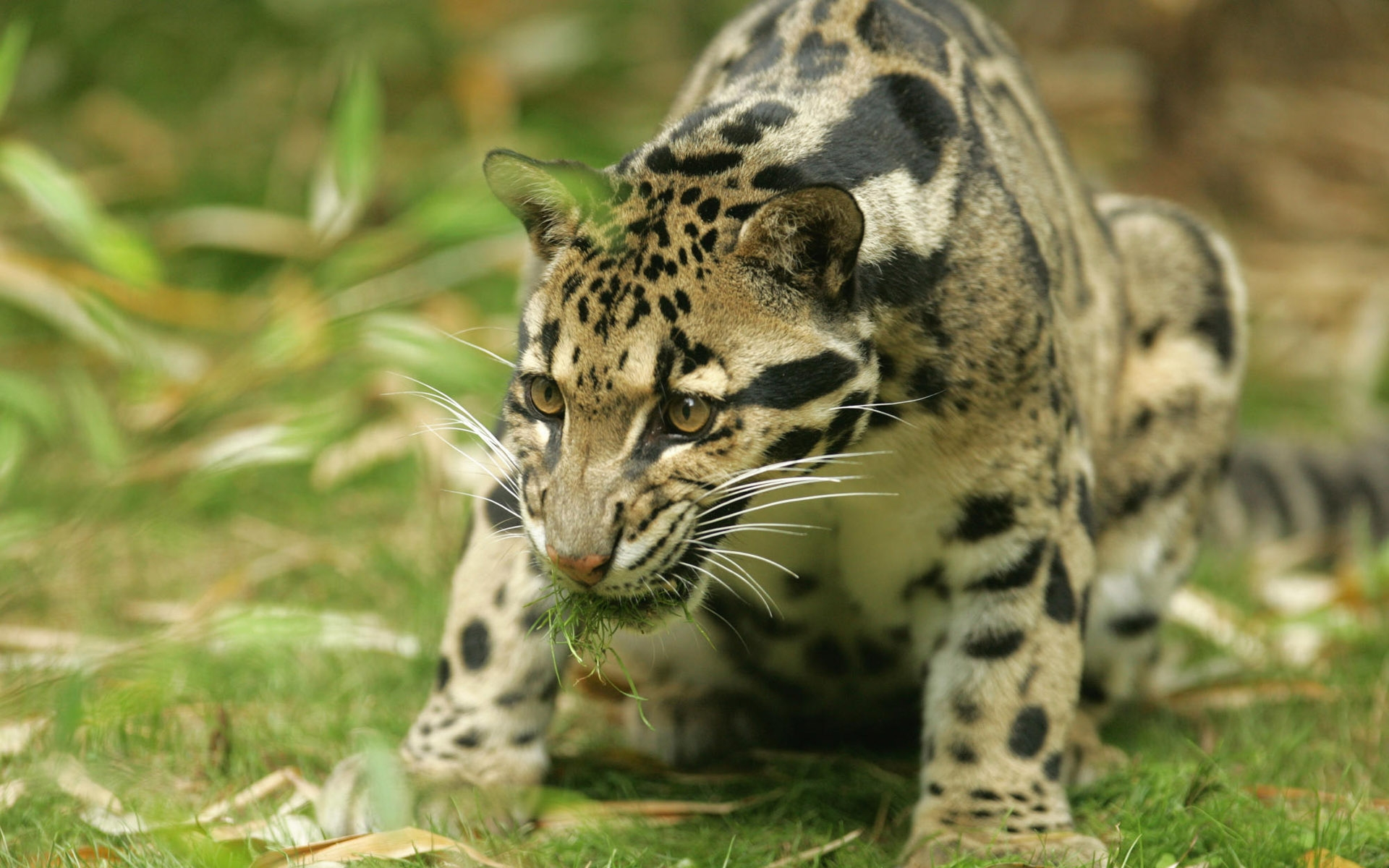Clouded Leopards images Clouded Leopard HD wallpaper and 1920x1200