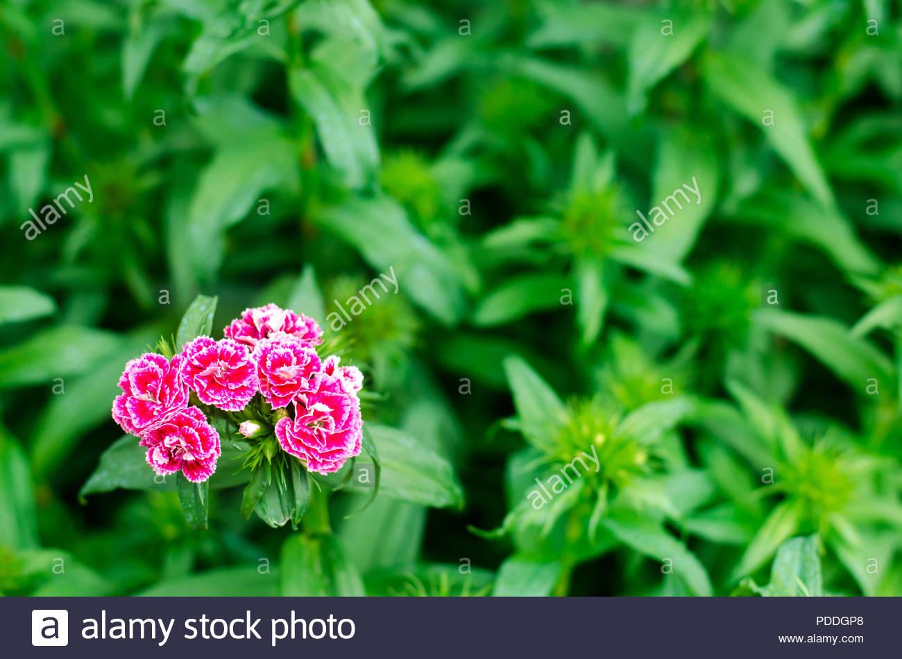 Cloves Turkish Dianthus barbatus Garden plants Flower 1300x951