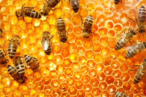 Honey bees Shutterstock 620x413