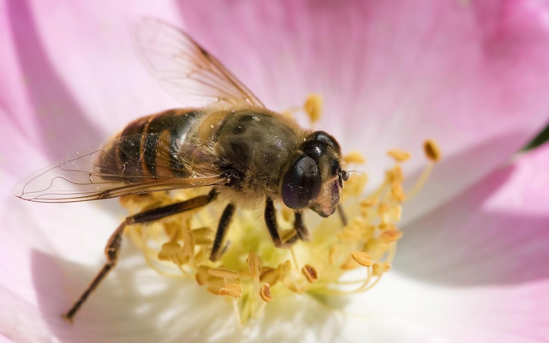 Bee Wallpapers 1920x1200