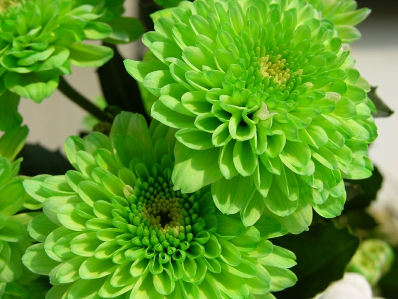 Green Flower Wallpaper   All Wallpapers New 800x600
