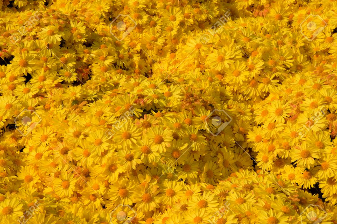 A Background Image Of Yellow Mums Flowers Stock Photo Picture And 1300x866