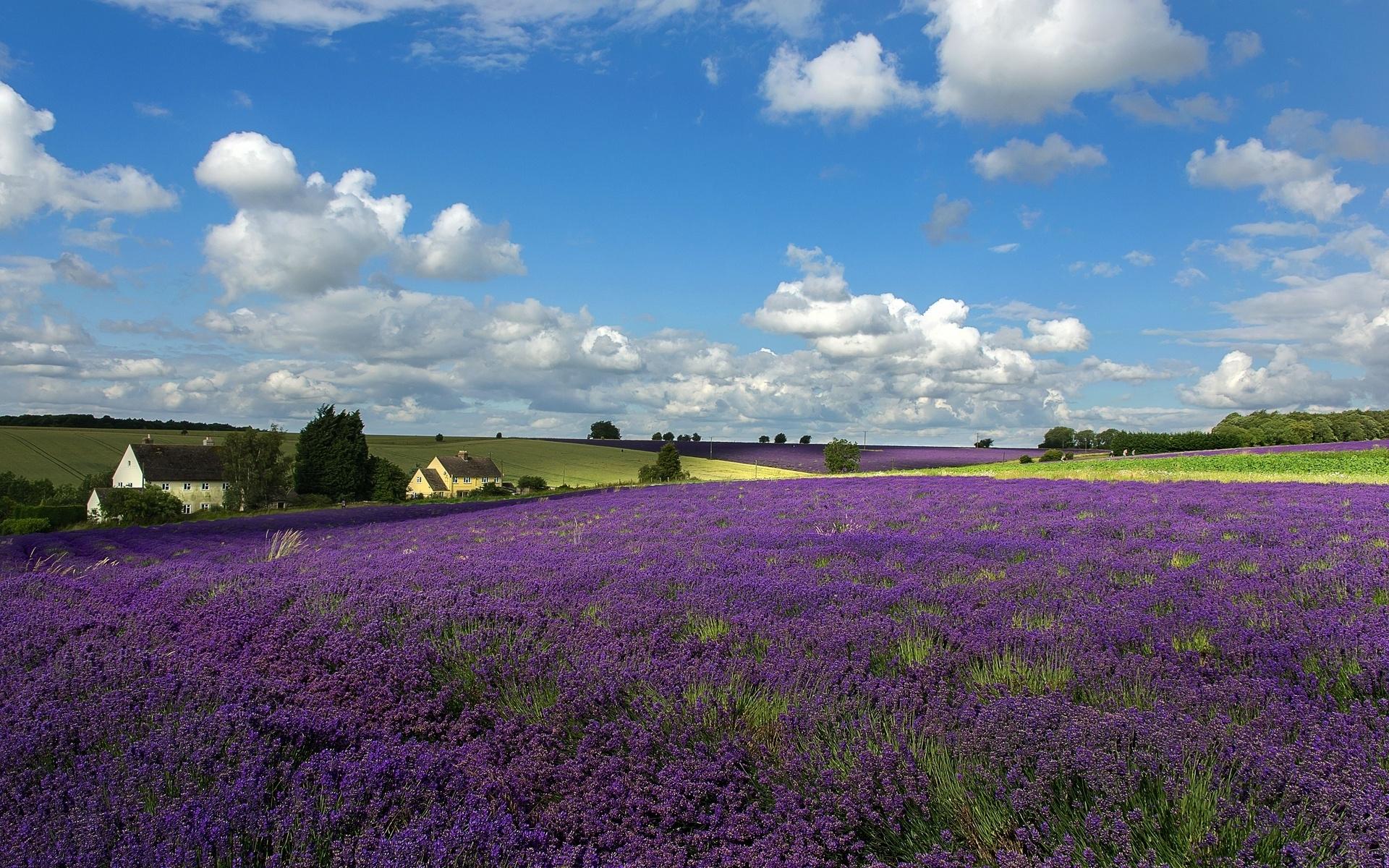 Lavender field wallpaper 24542 1920x1200