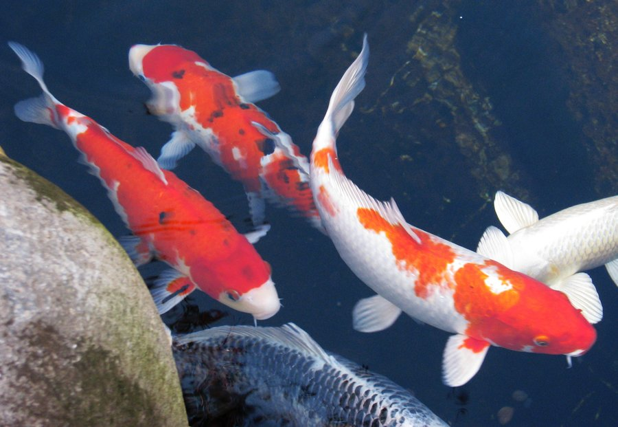 Koi fish wallpaper the image kid has it for Koi fish wallpaper