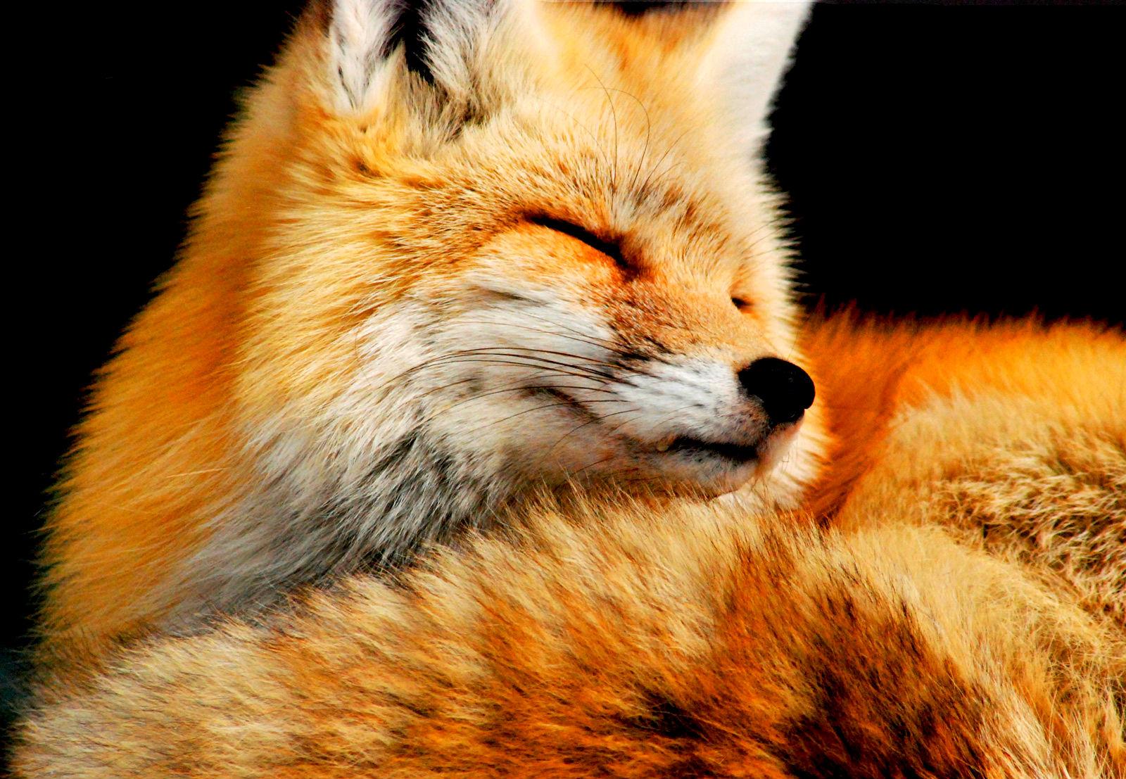 Fox desktop wallpaper wallpapersafari - Fox desktop background ...