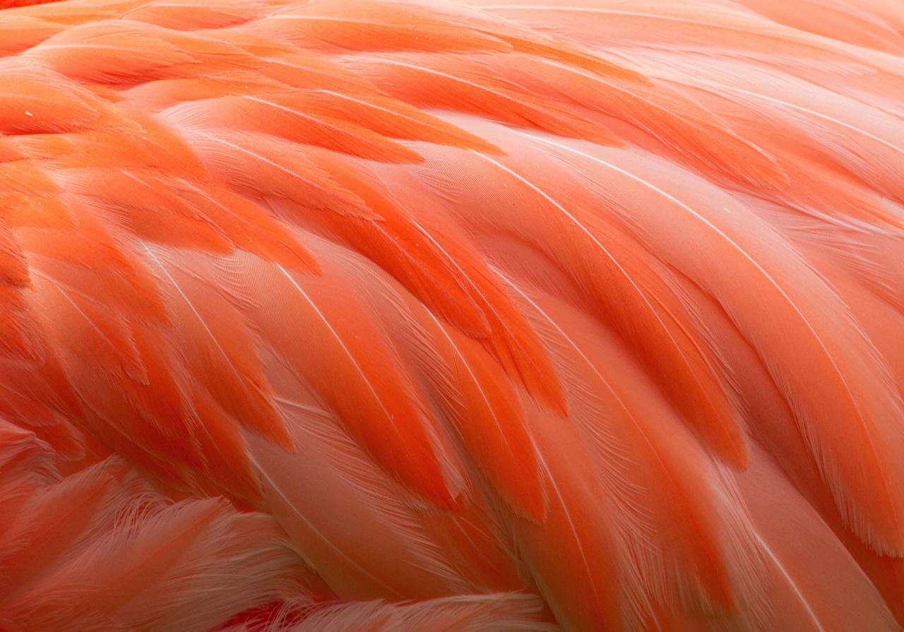 Wallpaper Flamingo Orange Macro Feathers 1280x895