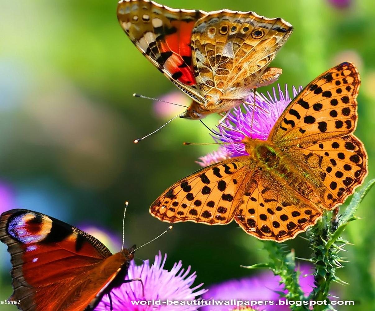 Beautiful Wallpapers Beautiful Butterflies Wallpaper 1207x1000