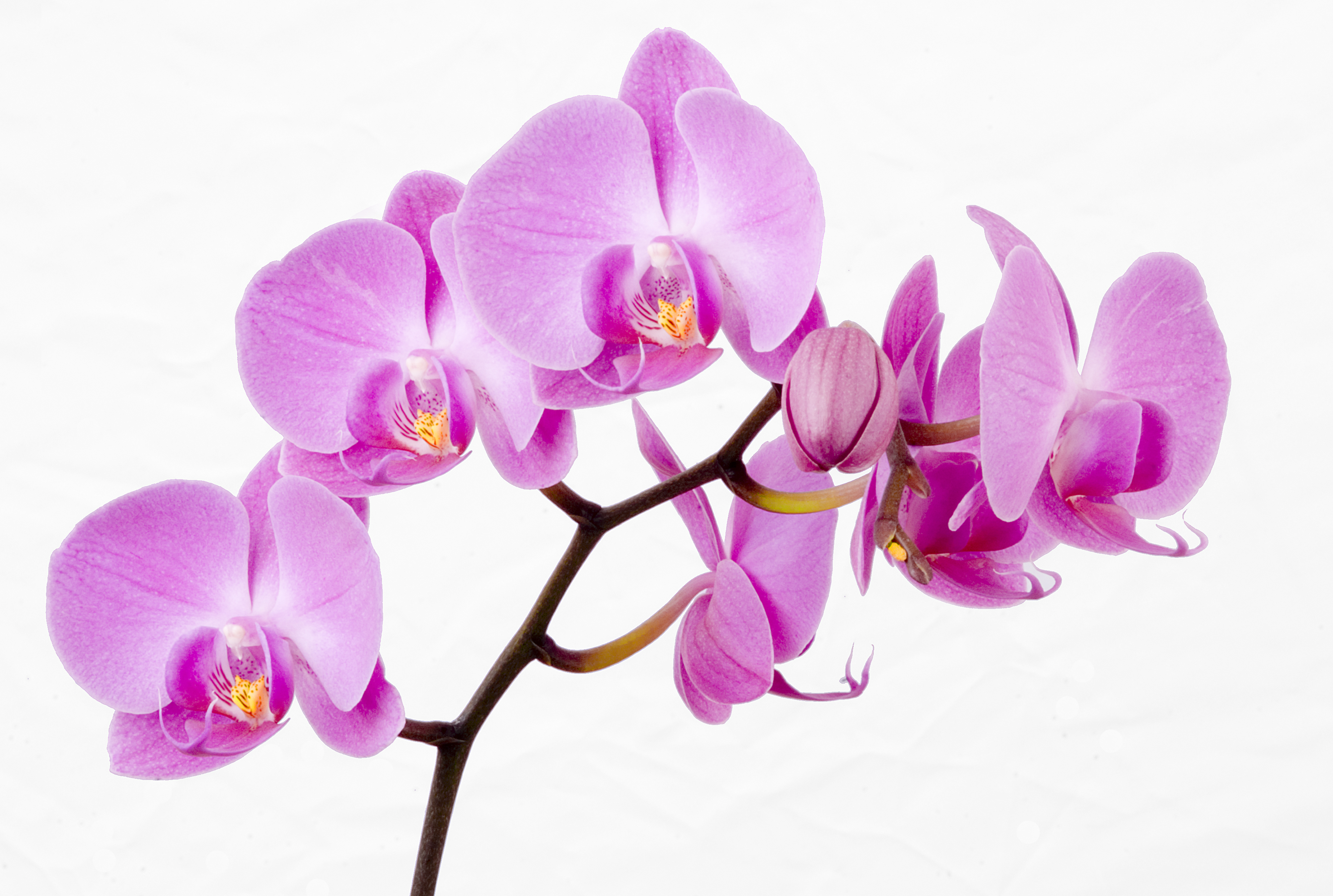 Wallpaper white pink lilac purple orchid Beautiful Mauve Orchid 4017x2700